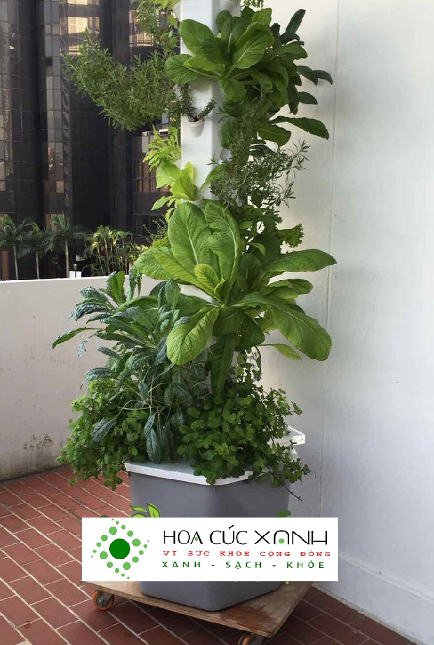 trụ rau thúy canh trồng đơn giản tại nhà